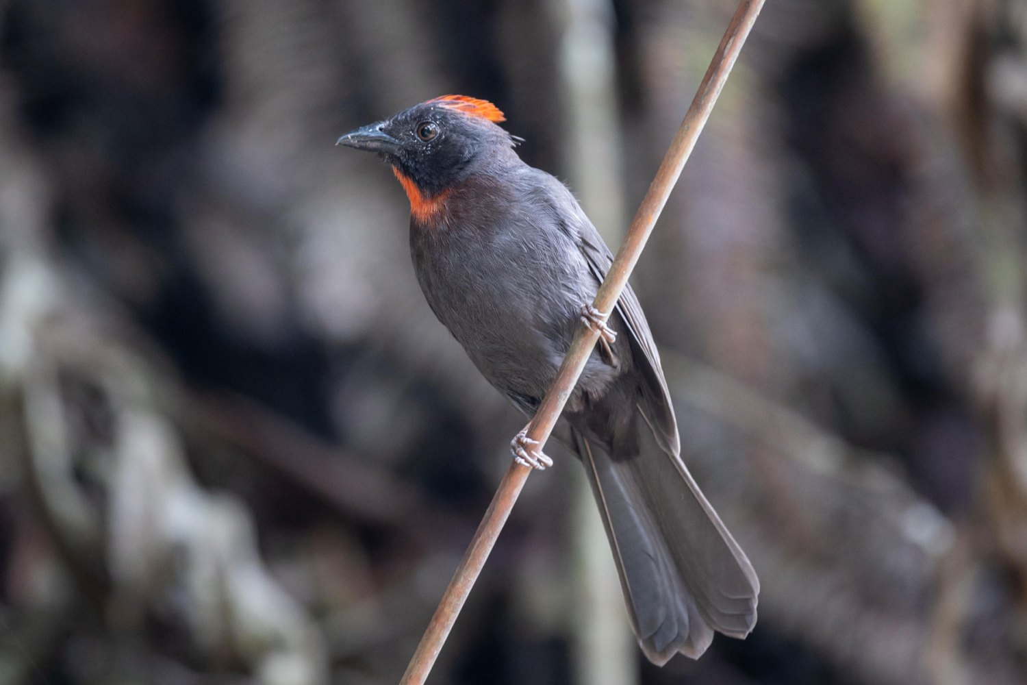 Sooty-ant Tanager