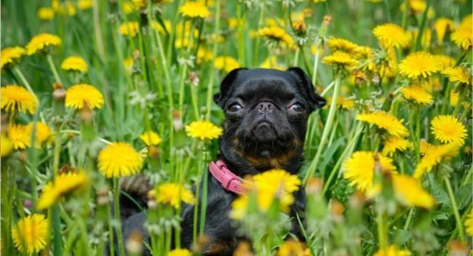 can dogs eat dandelions