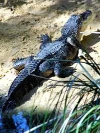 American-Alligator-1