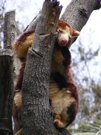 matschies tree kangaroo