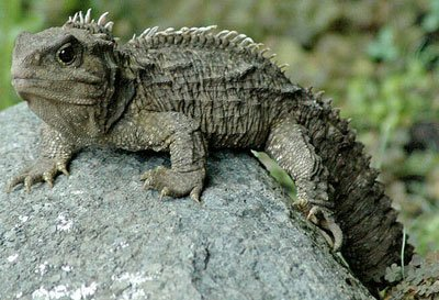 Tuatara The Animal Facts