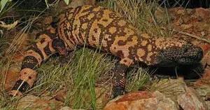 Gila Monster | The Animal Facts