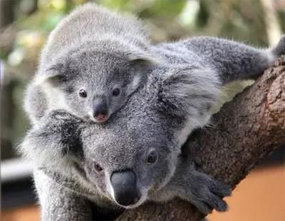Koala joey's Taronga