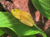 dainty tree frog melbourne aquarium
