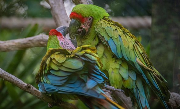 great green macaw chicks