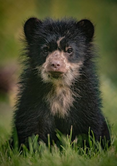 andean bear cubs chester