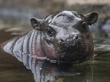 pygmy hippo calf