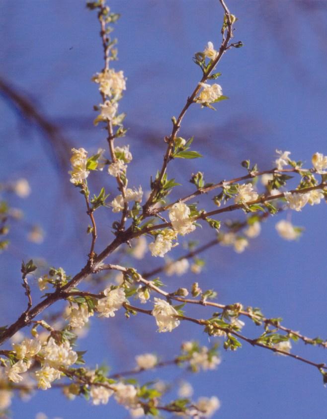 Lonicera fragrantissima–Fragrant Honeysuckle