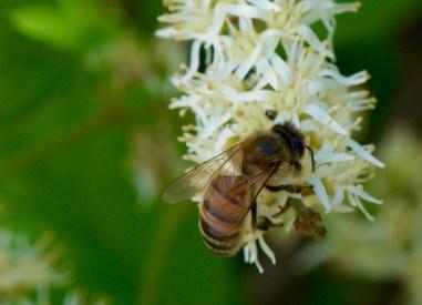 Itea virginica Virgina Sweetspire bee