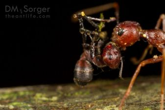 Exploding ant Colobopsis sp.) attacking weaver ant (Oecophylla smaragdina)