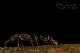 Tetraponera Ant attacked by Exploding Ants -- Mulu NP, Sarawak, Borneo