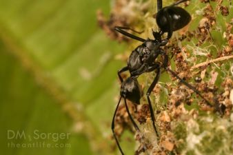 Polyrhachis Ant queen by nest -- Danum Valley, Sabah, Borneo