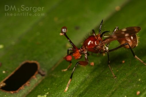 Giant Stalk-eyed Fly (Diopsidae: Cyrtodiopsis sp. female)-- Danum Valley, Sabah, Borneo
