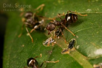 Crematogaster Ants with whitefly larvae -- Danum Valley, Sabah, Borneo
