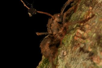 Zombie ant, Camponotus attacked by Ophiocordyceps-- Mulu NP (Kerangas Forest, Camp 5), Sarawak Borneo