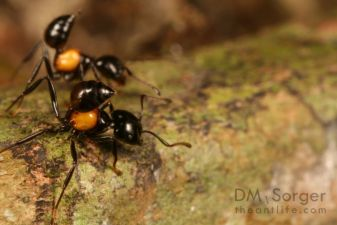 Crematogaster (Physocrema) inflata Ants -- Danum Valley, Sabah, Borneo