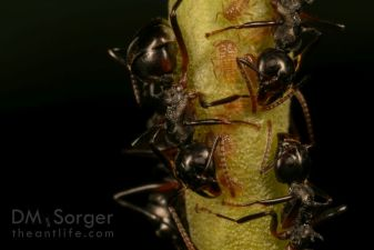 Dolichoderus Ants with aphids-- Danum Valley, Sabah, Borneo