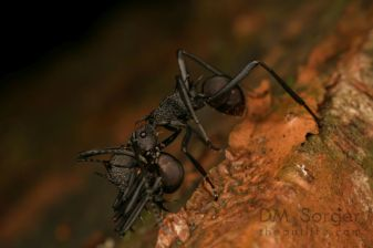 Polyrhachis armata worker carrying another worker -- Danum Valley, Sabah, Borneo