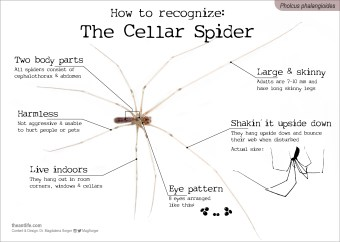 How to recognize: The Cellar Spider