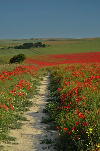 Poppies on the South Downs