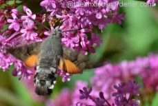 Hummingbird hawk-moth (3)