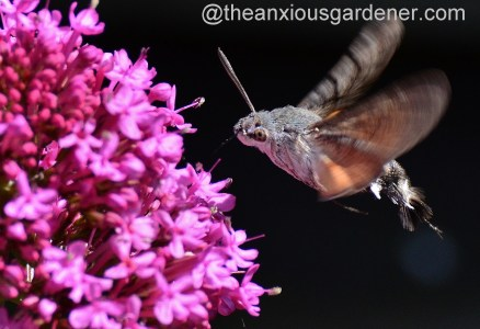 Hummingbird hawk-moth (5)