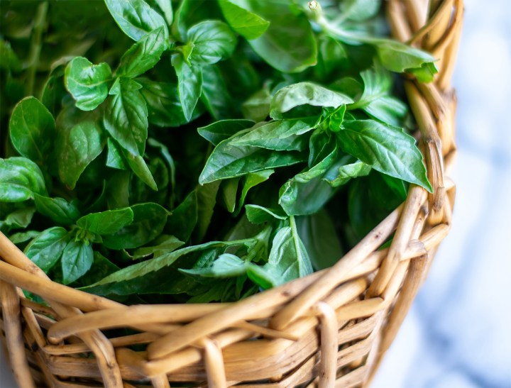 Growing basil in containers indoors and outdoors