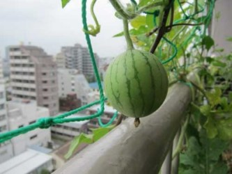 watermelon_balcony_aug