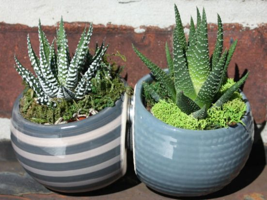 succulents used