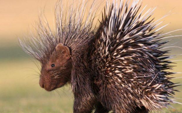 Sheepdog or porcupine
