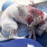 The smaller dogs are especially susceptible to being killed on the streets. This little Chihuahua was attacked by a bigger dog. Funds could not be raised for his vet care and he succumbed to his injuries.