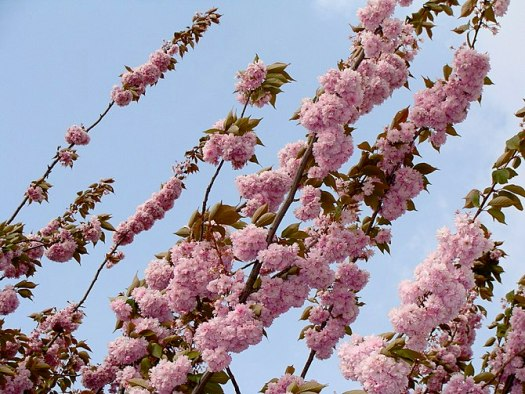 prunus serrulata, branches, leaves and blossoms