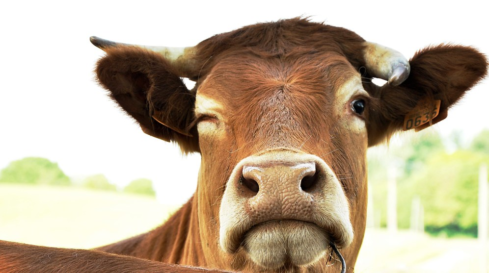 Winking Cow