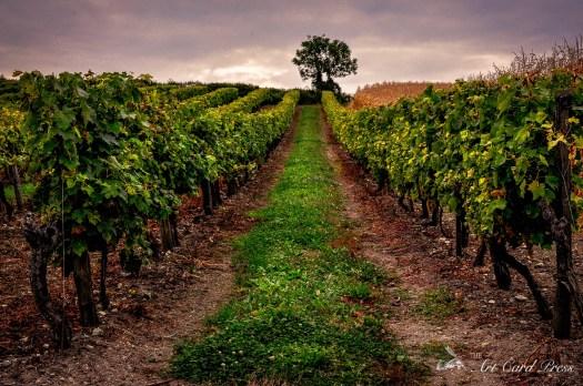 Grapes - vines 1
