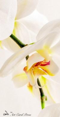 Orchids 12
