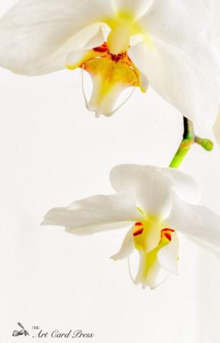 Orchids 8-001