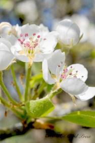 Blossom trees-13