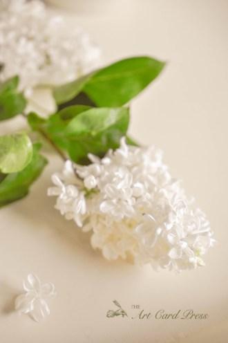 White Lilac_