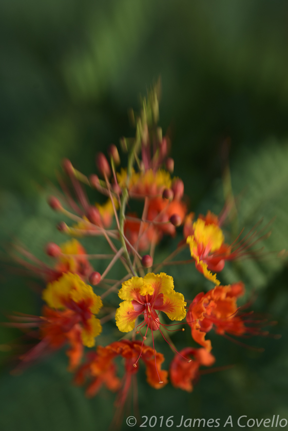Mexican Bird of Paradise, August 2016, Tucson, Arizona. Nikon D800, Lensbaby Sweet 50, ISO 100, 1/125 sec, approx. f/4.