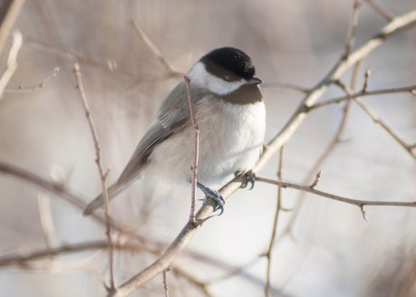 Chickadees can enter torpor, which is similar to a self-induced hypothermia or mini-hibernation, in order to save energy.