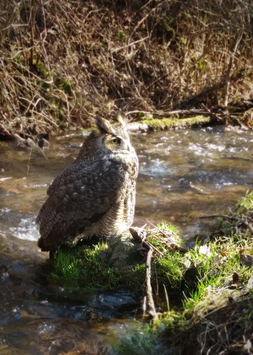 This Great Horned Owl was found here in Bucks County. Weak and underfed, we took him to a rehabilitation center but unfortunately, he didn't survive. He was beautiful to observe though!