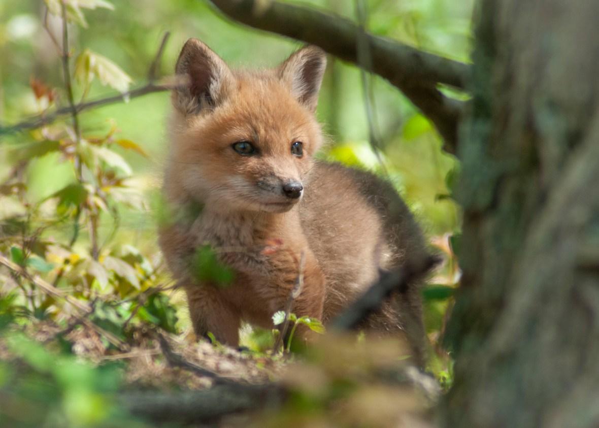 fox kit in spring - bucks county Pennsylvania