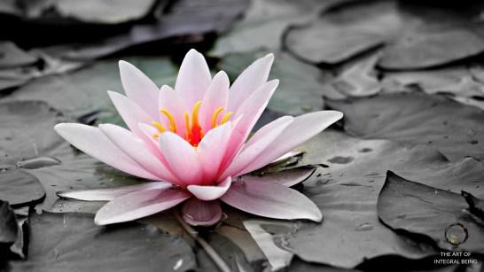 Lotus (Pink Grey Water)