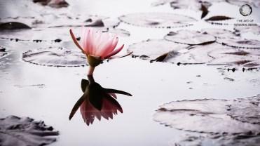 Lotus (Pink Water)