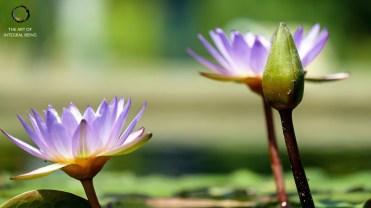 Lotus (Purple Emerging)