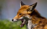 fox2_2359050b - Copy