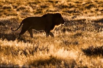 Edge-lit Lion
