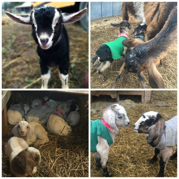 goat-farm-collage