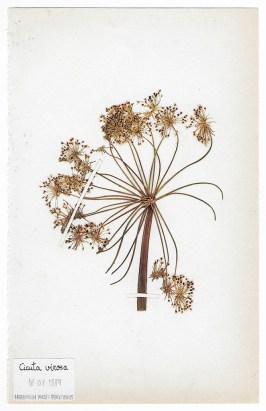 The Extinct Flora in Spain (Sketches) 07. Cicuta virosa 源自西班牙的絕跡花草 (手稿) 07. Cicuta virosa, 2019, Drawings on paper 繪畫、紙本, Courtesy of 双方藝廊 Double Square Gallery