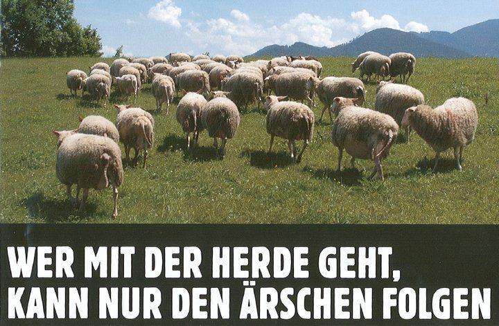 Schafe-Ärsche